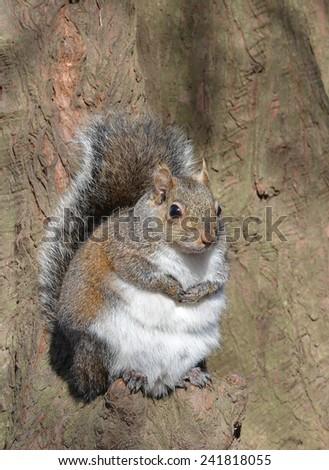 A Grey Squirrel (Sciurus carolinensis) Perched On A Cypress Tree Knee - stock photo