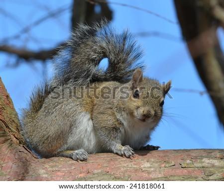 A Grey Squirrel (Sciurus carolinensis) Perched On A Tree Branch. - stock photo
