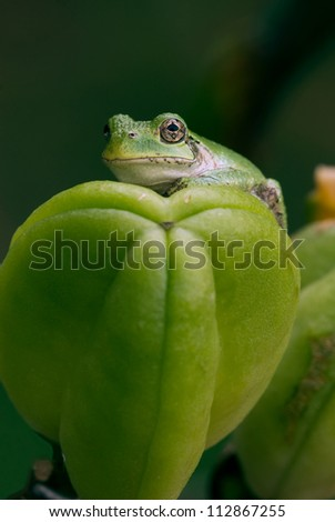 A grey tree frog (Hyla versicolor) sits atop of a daylily seed capsule in a garden in southern Barry County, Michigan.