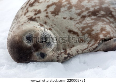 A Grey Weddell seal resting in Antarctica. - stock photo