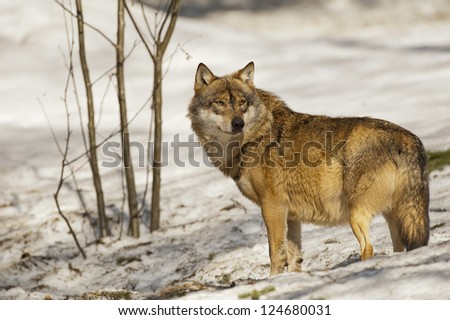 A grey wolf isolated in the snow while looking at you - stock photo