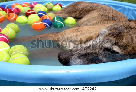 A greyhound dog cools off in a kiddie swimming pool on a hot summer day. - stock photo