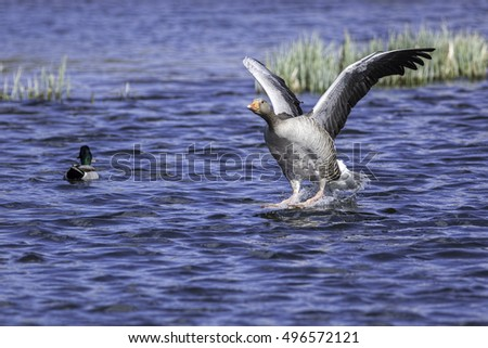 A greylag goose (Anser anser) comes in to land on water