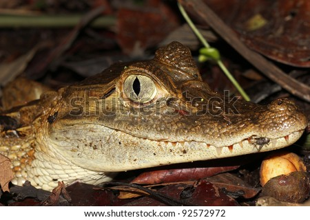 A Grinning Spectacled Caiman (Caiman crocodilus) in the Peruvian Amazon - stock photo