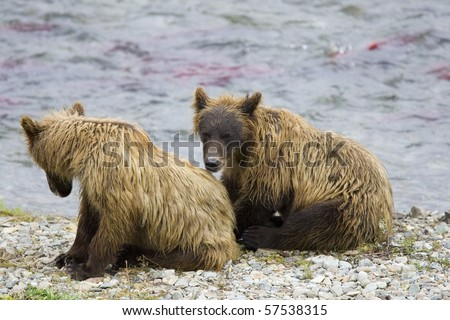 A grizzly bear hunts for salmon in Alaska