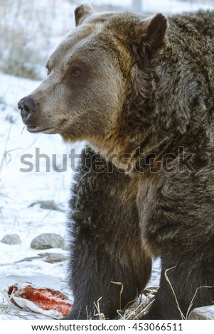 A Grizzly Bear Standing Over it's Food