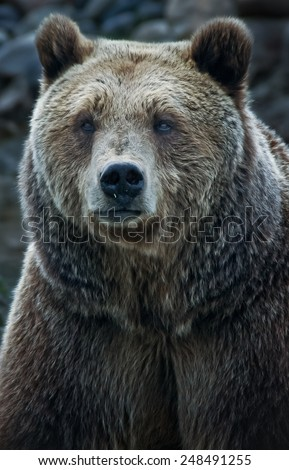 Bear Face Stock Images...