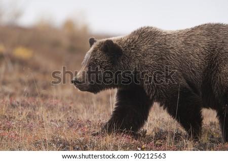 A Grizzly Bear (Ursus arctos) crosses the fall tundra, Denali National Park, Alaska. - stock photo