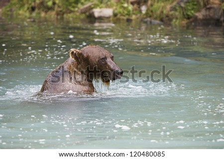 A grizzly brown bear in river water