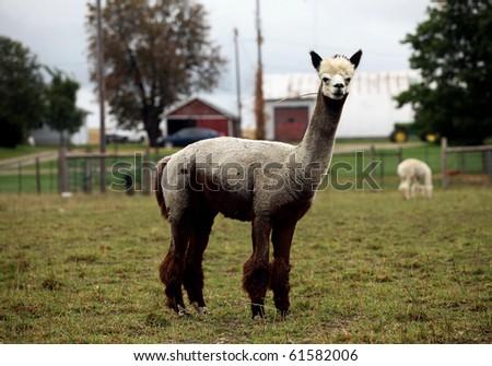 a groomed alpaca on a canadian farm - stock photo