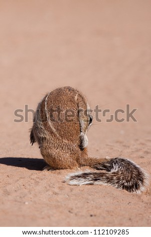 A ground squirrel grooming