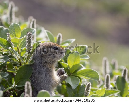 A ground squirrel (Spermophilus or Citellus) in the grass. - stock photo