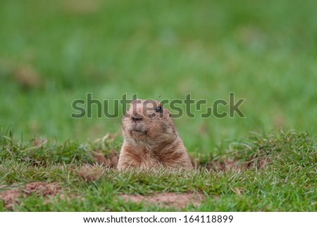 A Groundhog in a Hole Looking Curiously  - stock photo