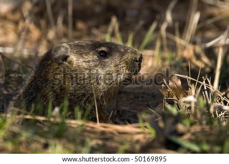 A groundhog Toronto Ontario. Canada. - stock photo