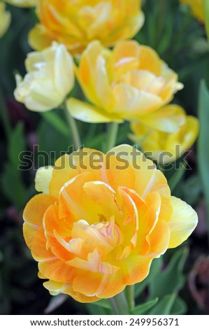 a group double bloom tulip in garden  - stock photo