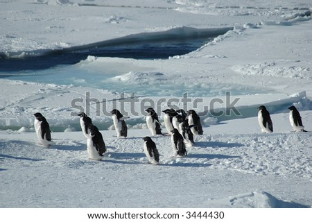 A group of about fifteen Antarctic adelie penguins crossing through the picture. - stock photo