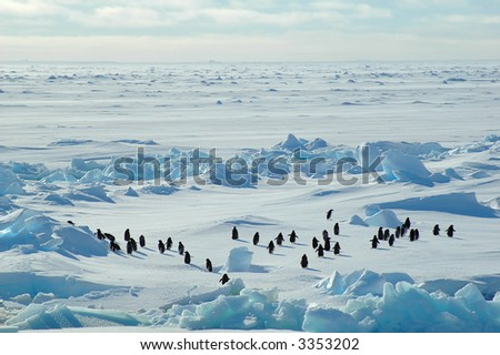 A group of about forty Antarctic adelie penguins running into the blue wideness of an Antarctic icescape scenery.