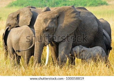 A group of African Elephants in Queen Elizabeth National Park, Uganda - stock photo