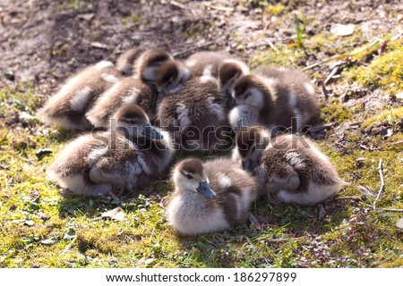 A group of babies of wild goose chilling in the sun - stock photo