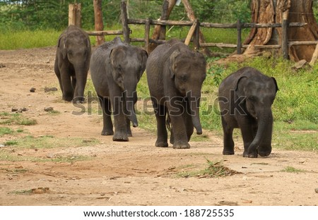 A group of baby elephants at the Udawalawe Elephant Transit Home and Information Centre Department of Wildlife Conservation Sri Lanka. - stock photo