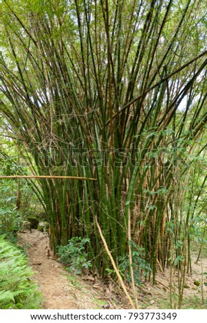 A group of bamboo in Honoonapali Natural Reserve Area in Kauai, Hawaii.