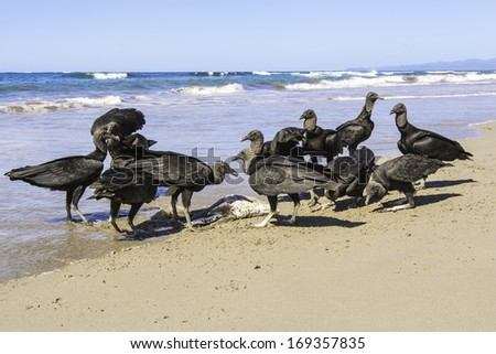 A group of black vultures pick the carcass of a dead fish clean on a beach in Costa Rica. - stock photo