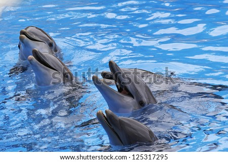 A group of  Bottlenose Dolphins, Tursiops truncatus,