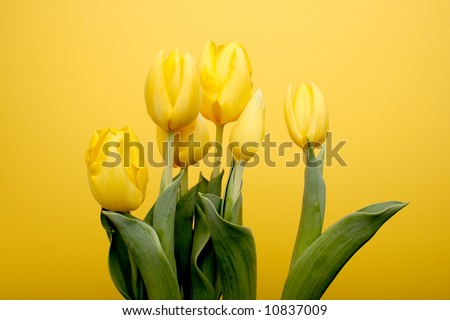 A group of bright yellow tulips over yellow