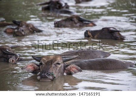 A group of buffalo is playing water, Thailand