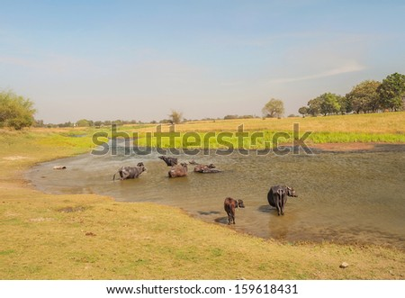 a group of buffaloes bathing in river in rural part India