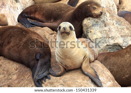 A Group of California Sea Lions at Monterey Bay, California