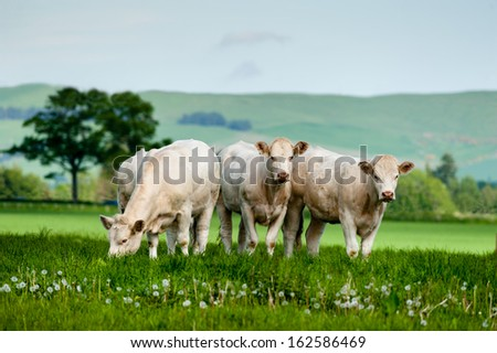 A group of charolais cattle grazing on rich pasture in Scotland. - stock photo