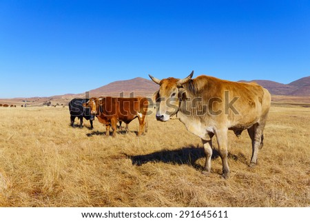 A group of cows at the maluti mountains , Lesotho , Africa