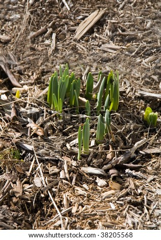 A group of crocus just coming up in the early spring.