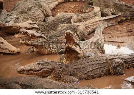 A group of Cuban crocodilles resting in the mud, Guama, Santiago do Cuba, Cuba.
