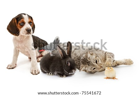A group of domestic pets including a puppy, parrot, rabbit, cat and a baby chicken all sitting together - stock photo