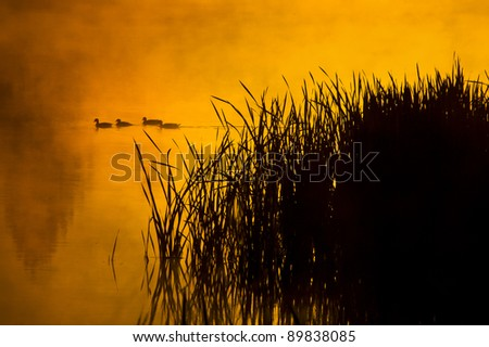 A group of ducks swims through a glassy pond during a foggy sunrise in Montana - stock photo