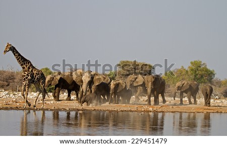 a Group of Elephants and one Giraffe at waterhole  - stock photo