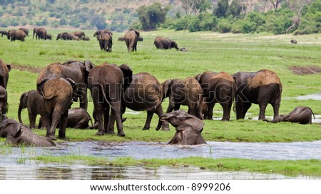 A group of elephants at waterhole; Loxodonta africana; Botswana