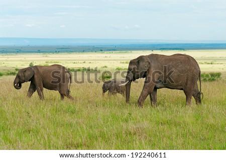 A group of elephants in maasai mara national park, Kenya.  - stock photo