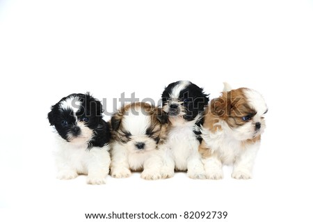 A group of four shih tzu puppies in studio on a white background - stock photo