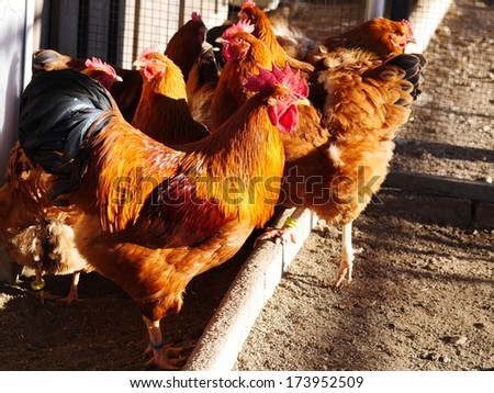 A group of free-range brown hens - stock photo