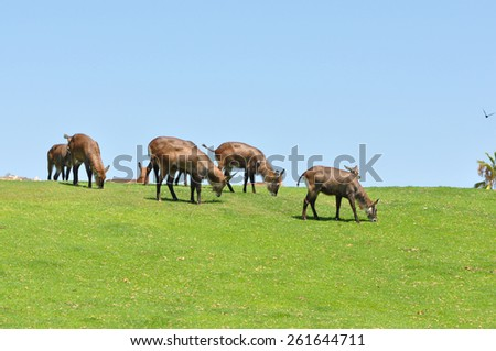 A group of fringed-eared Oryx (Oryx gazelle callotis) on top of a grassy hill with a bright blue sky - stock photo