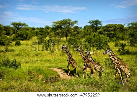 A group of giraffes crossing a stream in Serengeti - stock photo