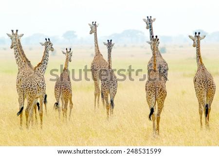 A group of giraffes (Giraffa camelopardalis) in Serengeti National Park, Tanzania - stock photo