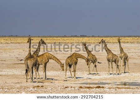 A group of giraffes standing at waterhole in Etosha national park, Namibia. - stock photo
