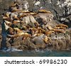 A group of golden brown sea lions sunning themselves on rocks by the water in Alaska, - stock photo