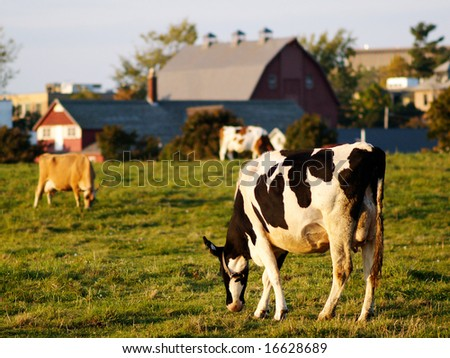 A group of grazing cows on a green farm field - stock photo