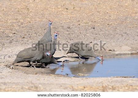 A group of helmeted guinea fowl drinking - stock photo