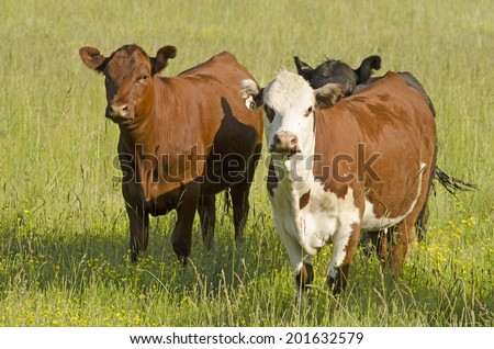 a group of hereford and angus cross breed steers in a pasture of grass and yellow flowers - stock photo